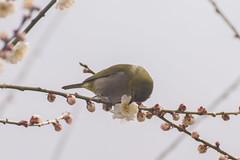 / White-eye on Plum Tree (kimtetsu) Tags: flower bird japan blossom blossoms plum   osaka  whiteeye   wildbird