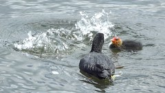 Coot with baby coot (H. Smithers) Tags: baby coot dived