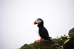 Puffin (judy dean) Tags: judydean 2016 sonya6000 shetland sumburghhead bird puffin delight cute cliffs
