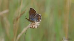 Bläuling / Blueling (Oerliuschi) Tags: butterfly schmetterling falter fluginsekt insekten natur sandgrube magerrasen oerlinghausen kreislippe nrw deutschland lumixgx8 panasonic nahaufnahme schärfentiefe