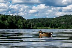 Duck on water (lars1387) Tags: bird water norway duck fujifilm akershus xt1