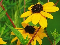 IMG_7178 (kennethkonica) Tags: nature canonpowershot summer july global random hoosiers marioncounty midwest america usa indiana indianapolis indy colors animaleyes animal outdoor c yellow catchy vivid petals stems depthoffield shadows
