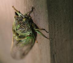 Too big. (SouthWestDreams ) Tags: cicada gitzo tamron90macro harvestfly