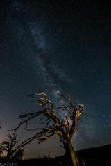 Night calls (Bill Bowman) Tags: milkyway limberpine pinusflexilis stars lightpainting approachingmidnight spooky grassytop
