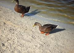 Menorca. Son Bou.3 (joseluisgildela) Tags: menorca sonbou playas patos