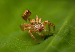MMB_6228 (mmariomm) Tags: cytaea jumping spider spiders molt fresh