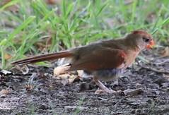 IMG_2281 (im2fast4u2c) Tags: animal cardinal wildlife