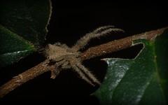 Sidymella hirsuta (dustaway) Tags: nature rainforest australia nsw arthropoda rotarypark arachnida lismore araneae araneomorphae thomisidae australianspiders northernrivers sidymella sidymellahirsuta hairycrabspider
