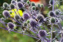 Edeldistel 'Blauer Zwerg' - Kleiner Mannstreu (ingrid eulenfan) Tags: eryngiumplanum blauerzwerg kleinermannstreu distel pflanze natur nature edeldistel