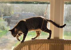 Cricket (rootcrop54) Tags: cricket male tabby stripes striped cat window backlit graceful rattan macska kedi  koka kissa  kttur kucing gatto  kais kat katt katzen kot  maka maek gorbe kitteh chat