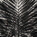 Palm Leaves (II)