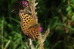 Schmetterling (Hugo von Schreck) Tags: hugovonschreck butterfly schmetterling falter outdoor insect insekt macro makro mittlereperlmutterfalter argynnisniobe canoneos5dsr tamronsp90mmf28divcusdmacro11f017 thistle