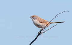 Eyrean Grasswren (chrissteeles) Tags: eyreangrasswren grasswren bird birding outback southaustralia sa