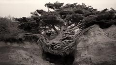 The Tree of Life (mijosc79) Tags: olympicnationalpark 6x9 ilfotecddx19 iso50 kalaloch development20c1430min treeoflife fujifilmacros film ebonyrsw45 forks washington unitedstates us mediumformat
