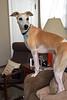 Whatcha Doin' There, Spanky? (DiamondBonz) Tags: dog spanky hound whippet handsome pet