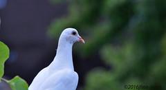 Blanca (jfinnirwin) Tags: birds backyardbirds pigeons whitepigeon bokeh elizabethnj nature