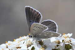 I've got the Blues - Arctic Blue (Paridae) Tags: arcticbluebutterfly plebejusglandon bluebutterfly butterfly butterfliesofbritishcolumbia butterfliesofmanningpark flutterby thingswithwings afewofmyfavouritethings canoneos7d insectsofbritishcolumbia insectsofcanada flyinginsects