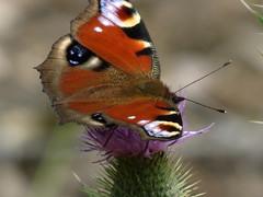 Pfauenauge (germancute) Tags: nature outdoor landscape landschaft thuringia thringen germany germancute deutschland butterfly schmetterling wildflower blume wald forest coth coth5