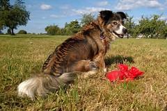 Chillie (maramillo) Tags: maramillo cane dog chien hund cy otr