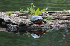 turtle mirror (DML0mba) Tags: kapechick wellfleetbaywildlifesancuary wildlife capecod massaudubon tamronaf16300mmf3563dillvcpzdmacrob016