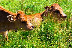 Two Calves Taking It Easy (Asturias, Picos de Europa, Spain) (G.Roca) Tags: grass sunny flowers calf cattle brown blonde cow summer spain bright nice quiet bucolic green animal farm nature red asturias picosdeeuropa