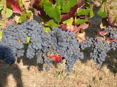 Malbec (outdoorPDK) Tags: napa napavalleycollege vineyards malbec winegrapes