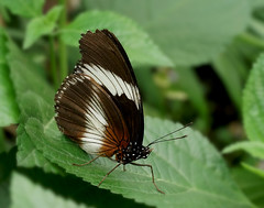 Brown Butterfly (Wim van Bezouw) Tags: butterfly insect nature leaf plant