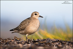 American Golden-Plover (lironsnaturephotography.com) Tags: plover plovers migration migratory migratoryshorebird migrant migrating raremigrant flock flocks shorebirds shorebird shorebirdmigration shorebirdphotography shorebirding mudflats tide tidal intertidal mud fraserriverdelta delta deltabccanada boundarybay bay pacific pacificnorthwest pacificcoast pacificflyway ocean oceans water sea seas bird birds birding birdphotography birdwatching animal animals nature naturephotography wild wildlifephotography wildlife canada bc britishcolumbia bccoast britishcolumbiacoast vancouver lowermainland greatervancouver metrovancouver ladner lironsnaturephotographycom canonef400mmf56lusm canon canon7dmarkii canoneos7dmarkii 7dmarkii 400mm lowangle outdoors outside goldenplover goldenplovers pluvialisdominica americangoldenplover blackbelliedplover pluvialis lowanglephotography