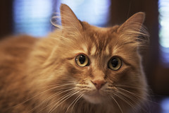 Mandy Monday: Better Late Than Never (Photo Amy) Tags: adorable aminal canon50d cat cuddly cute cuteness ef50mm18 eartufts feline fluffy fur furry ginger kitten longhair longhaired orange pet precious red tabby toefur whisker whiskers