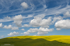 Chimerical (michael ryan photography) Tags: palouse washington canola fields green yellow blue clouds pastoral colfax ripplies puffy michaelryanphotography