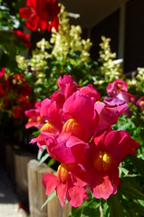 Snapdragon (dgardenia) Tags: dahlia dog pet macro home garden seeds mums mum frangipani geranium chrysanthemum seedling dahlias alyssum snapdragon diascia nemesia duranta geishagirl durantarepens