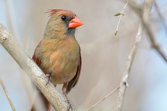 Northern Cardinal Female (Jesse_in_CT) Tags: cardinal