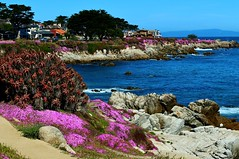 Springtime Monterey Bay (Michael T. Morales) Tags: pink waves montereybay iceplant pacificgrove californiacoastline ptpinos pinkflowers shorefront loverspointpark sceniccoastline