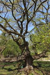 Tentaculaire (StephanExposE) Tags: paris france tree nature canon jardin campagne arbre iledefrance plantes jardindesplantes 1635mm 600d jardinalpin 1635mmf28liiusm stephanexpose