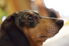 Indy (tracy.henegar) Tags: dog pet animal closeup dachshund blackandbrown
