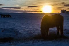 After the storm (ChecaPablo) Tags: horse sun sol sunrise canon caballo eos iceland islandia 7d guesthouse icelandic selfoss icelandichorse salidadelsol islands canoneos7d caballoislands lambastadir