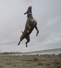 @coconut_cam GoPro dogs (@coconut_cam) Tags: berkeley bayarea pitbullmix gopro coconutcam gopro4 goprodogs bayareadogvideos berkeleydogtrainer berkeleydogvideos bayareadogtrainer