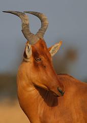 Lelwel Hartebeest (Rainbirder) Tags: kenya laikipia olpejeta alcelaphusbuselaphuslelwel rainbirder lelwelhartebeest
