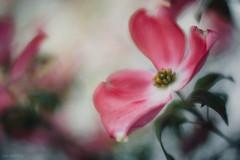 Rosenberg-Ana_-1-121 (Ana~Rosenberg) Tags: flowers lensbaby spring dogwood seeinanewway velvet56