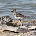 Lesser Yellowlegs; Tringa flavipes thumbnail