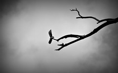 Flying Through the Storm (Doodles N' Dabbles) Tags: blackandwhite tree birds animals flying wings branch wildlife feathers avian