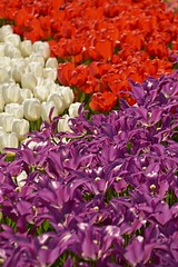 tulip tetris (armykat) Tags: gardens tulips longwoodgardens natureycrap kennettsquarepennsylvania tulipalooza tulipalooza2015