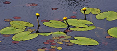 Yellow pond lily (Kiril Strax) Tags: flowers plants ontario water lily provincialparks queenelizabethiiwildlandsprovincialpark queenelizabethiiwildlands ontarioplants