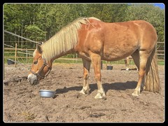 Pret met Sarah (gill4kleuren - 11 ml views) Tags: life horse me sarah fun outside happy running gill saar paard haflinger