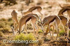 South Africa - Springbok roaming (Remsberg Photos) Tags: africa park wild southafrica wildlife adventure explore rest roam horned matamata