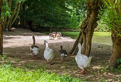 Gnsemarsch - Wildpark Reuschenberg (KL57Foto) Tags: pen germany olympus stadt juli rheinland rhineland wildpark leverkusen 2016 reuschenberg epm2 kl57foto
