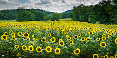 Sunflower Field #1 (:GRJohnson:) Tags: 2016 d800 july summer tennessee hike nikon sunflower knoxville flowers flickrchallengegroup flickrchallengewinner