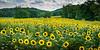 Sunflower Field #1 (:GRJohnson:) Tags: 2016 d800 july summer tennessee hike nikon sunflower knoxville flowers flickrchallengegroup flickrchallengewinner