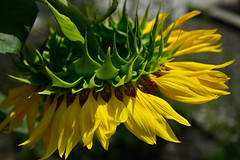 Sunny Sunflower Sunday (Terri Toll) Tags: plant flower nature nikon florida blossom sunflower d610 nikond610