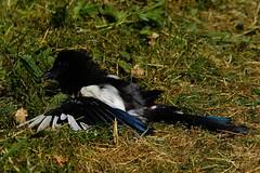 DSC06953 - A hot day! (steve R J) Tags: basking woodpigeon magpie blackbird birds british garden connaught waters